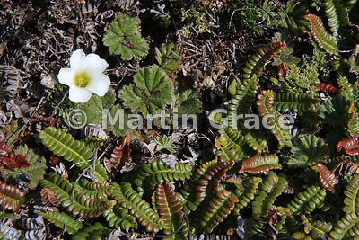 Flower of Scurvygrass (Oxalis enneaphylla) surrounded by the rounded leaves of Pigvine (Gunnera magellanica) and Small Fern (Blechnum penna-marina), Saunders Island, Falkland Islands