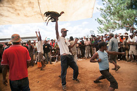 A referee shows to the public a cock winner during a cocks fighting tournament on February, 7, 2016 in Imerintsiatosika, 30km from Antananarivo. Cocks fightings are held every sunday in Imerintsiatosika, with cocks coming from Thaïland or La Reunion Island, that are considered better fighters than Madagascar's cocks.