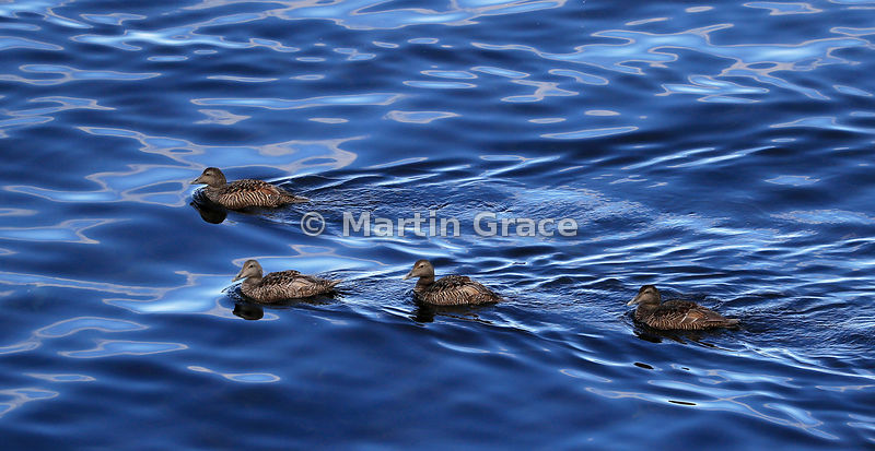 Four adult female Common Eider ducks (Somateria mollissima) swimming on an oily-looking sea, Hafnarholmi, Austurland (Eastern Region, East Iceland), Iceland