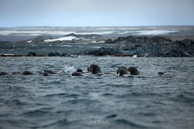 Atlantic walrus near the Island of Storoya, Scalbard, Norway.