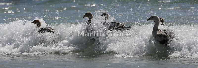 Upland Geese (Chloephaga picta leucoptera) in the surf, Pebble Island, Falkland