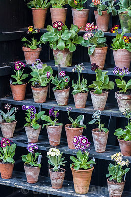 Primula auriculas displayed in a traditional theatre, used to protect the flowers from rain. Summerdale House, Lupton, Cumbria, UK