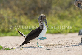 blue_footed_booby_north_seymour-38