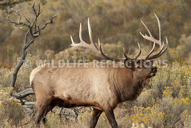 bull_elk_on_the_march_2