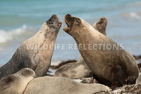 sea_lion_australian_skirmish-4