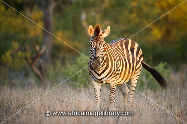 Burchell's zebra, Equus burchellii, Kruger National Park, South Africa