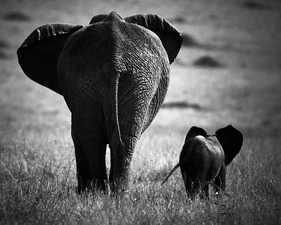 0138-Baby_elephant_with_an_adult_side_by_side_Laurent_Baheux