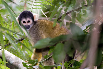 Squirrel monkey (Saimiri sciureus) in forest along the Tambopata River, Peruvian Amazon