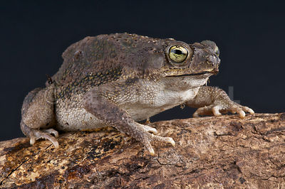 Small beaked toad  (Rhinella granulosa major) photos