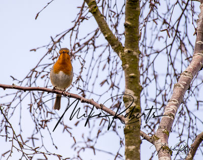 Robin Gallery photos pekin robins