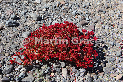 Basal (Cistanthe celosioides) on road verge South of Socaire, Atacama