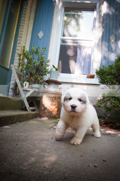 small white puppy dog staring walking on concrete patio at house