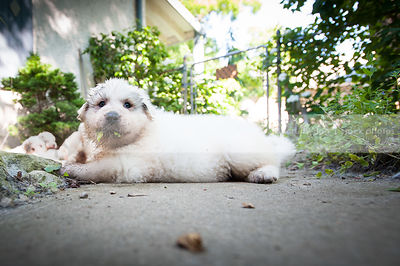 white dirty puppy dog chewing leaves lying on patio in yard