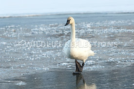 trumpeter_swan_walking_ice20120101_0012