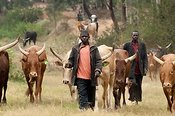 Herdsmen with thier traditional African cattle. Rwanda.
