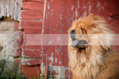 portrait of shaggy red chow dog panting sitting at barn door