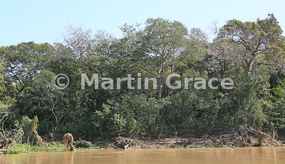Pantanal gallery forest river habitat for Jaguar (Panthera onca), River Cuiabá, Mato Grosso, Brazil