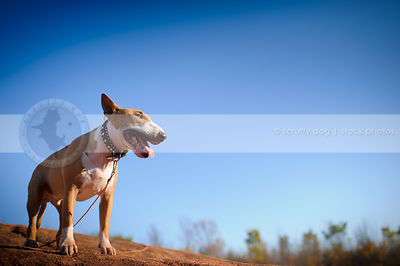 happy dog standing in sunshine on red clay ridge under sky