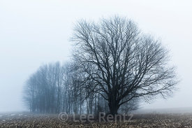 Maple Tree in Winter Fog