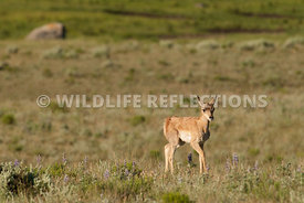 pronghorn_fawn_walk