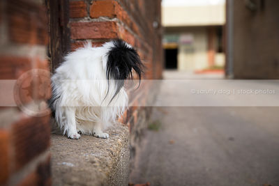 longhaired little dog looking away in doorsill of urban alley