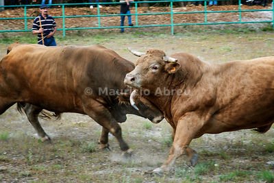 Traditional bullfighting (chega de bois) between the best bulls of each village of the northern region of Barroso. Montalegre, Tras os Montes. Portugal