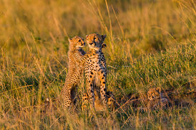 Wildlife of Masai Mara