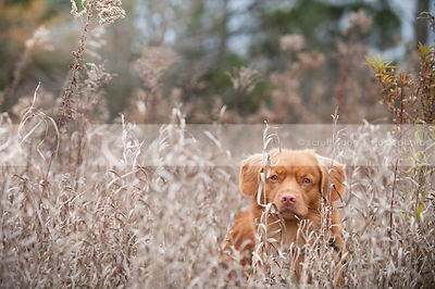 headshot of alert red dog hiding in deep dried grasses