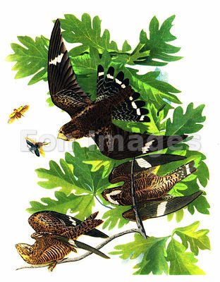 Audubon print Night Hawk