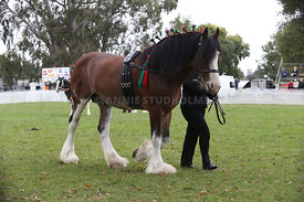 HOY_220314_Clydesdales_2396