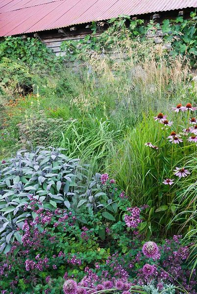 Border in front of tin-roofed barn includes Echinacea purpurea, clumps of Calamgrostis brachytricha, Stipa gigantea and Molinia 'Transparent' with purple sage and deep purple Allium sphaerocephalon in foreground. Broughton Buildings, Broughton, nr Stockbridge, Hants, UK