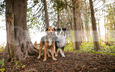 two tricolor dogs standing together on slope in forest of trees