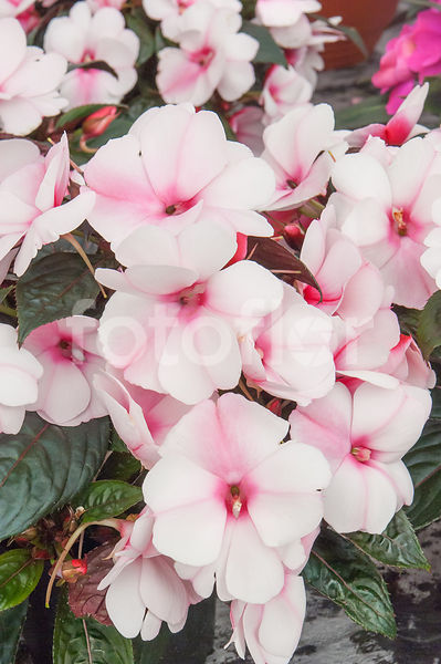 Photo de impatiens x novae guinea harmony 39 raspberry - Impatiens de nouvelle guinee ...