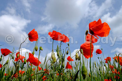 FRANCE, INDRE ET LOIRE, COQUELICOTS//France, Indre Et Loire, Red Poppy