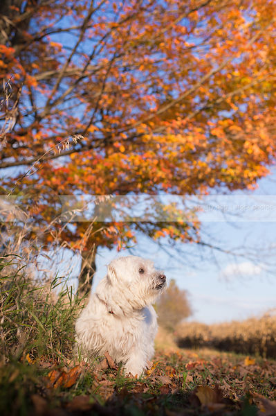 small white dog sitting in autumn setting with tree