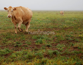 Cows and Horses images