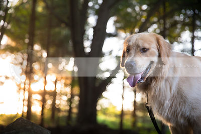portrait of pretty golden dog with backlit trees at sunset