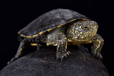 Italian pond turtle (Emys orbicularis galloitalica)  photos