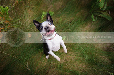 happy dancing boston terrier in grasses