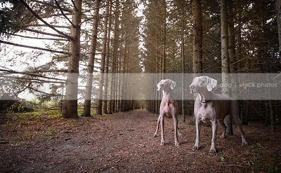 wideangle stock photo of two grey dogs standing in tunnel of trees