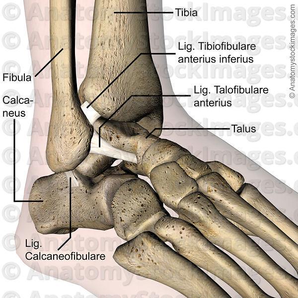 Ligamentum calcaneofibulare    Med-koM