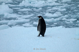 A juvenile Emperor penguin standing solo on a flat area of sea ice.