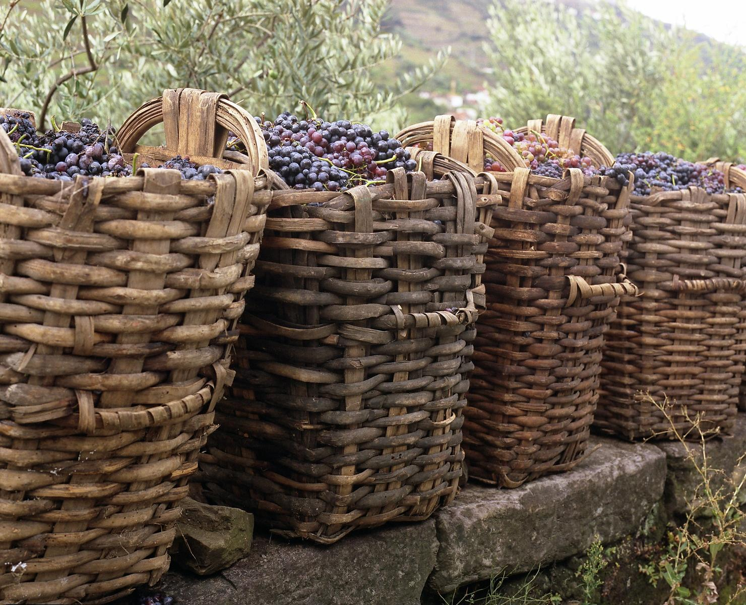 grapes_in_baskets_1
