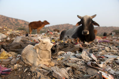 Small marble icon of a cow sits on a field of plastic in the Pushkar municipal dumping ground (landfill), Pushkar, Rajasthan, India
