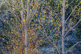 Autumn Cottonwood at Orilla Verde in Rio Grande del Norte National Monument