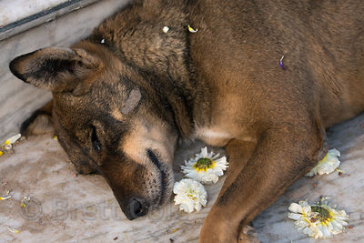 A street dog sleeps on temple steps surrounded by flowers thrown during Mahashivaratri (Shiva's birthday) in Pushkar, Rajasthan, India
