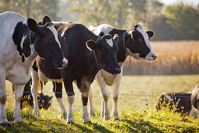 Classic milk cows on a farm in Amish country, Lancaster, Pennsylvania