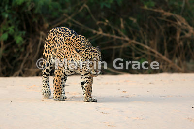 Female Jaguar 'Hunter' changes her mind and walks the other way along the beach, Three Brothers River, Nothern Pantanal, Mato Grosso, Brazil. Image 47 of 62; elapsed time 1h 41mins
