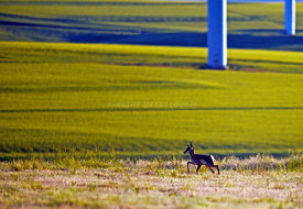 Baby_antelope_running_away