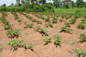 Crop of Sweet potato being grown in small plot, Kenya.